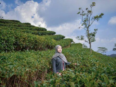 kebun teh nglingo
