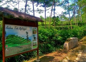 kebun teh nglinggo kulonprogo